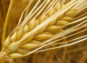 Antik Kentin Ortasına Buğday Ektiler