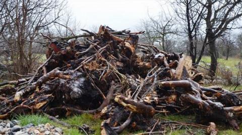 Muğla'da 80 Bin Zeytin Ağacı Katledildi
