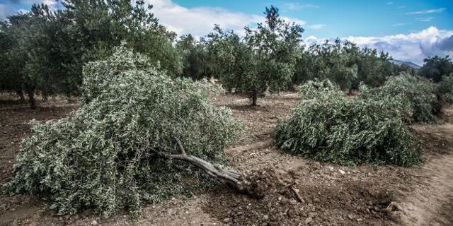 Soma'da Santral için 86 Ağaç Kesildi