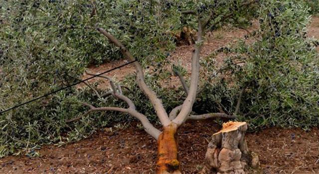 6 bin ağacın bedeli 511 bin TL
